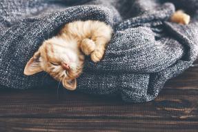 Sleeping kitten in a blanket