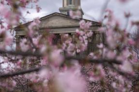 Municipal building with cherry blossoms in the foreground