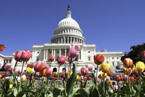 U.S. Capitol building with tulips