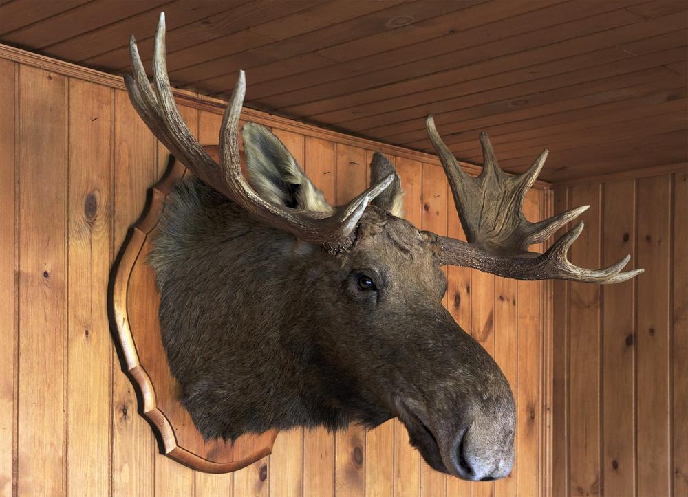 moose head 2