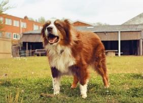 Dog near barn 1300w